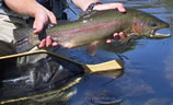 View of a 22 inch Rainbow Trout